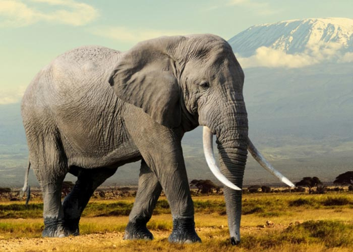 african elephants essay Miscellaneous essays: african elephants  elephants seem to be fascinated  with the tusks and bones of dead elephants and have been seen fondling and.