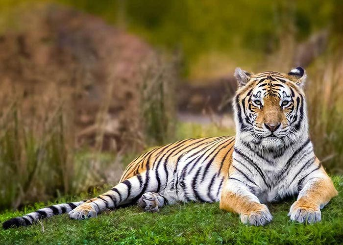 Essay on wild animals tiger