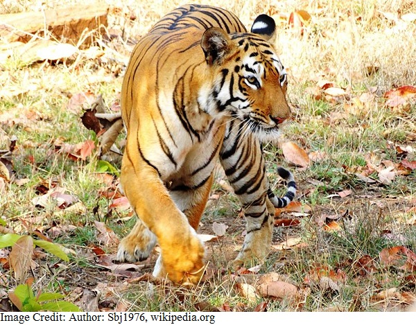 National Animal of India - Royal Bengal tiger