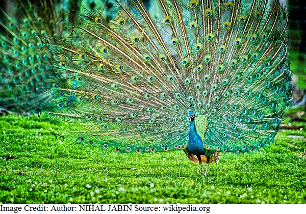 National Bird of India - Indian peacock
