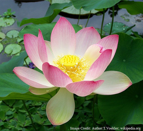 National Flower of India - Lotus