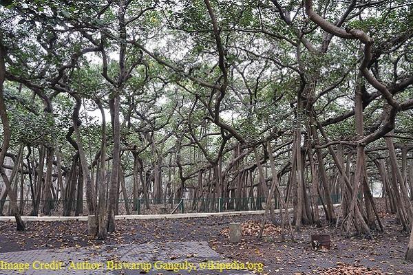 National Tree of India - Indian banyan tree
