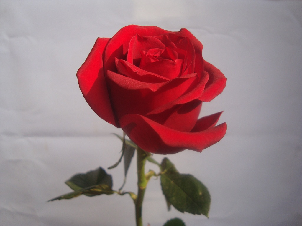 Rose Day 2018 Date Quotes And Celebrations